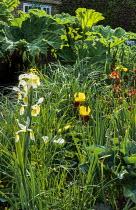 Pond with irises and Gunnera manicata