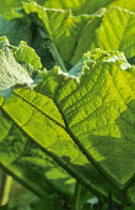 Gunnera manicata leaf