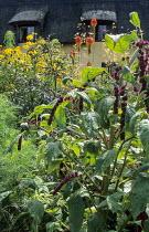 Amaranthus caudatus, kniphofia, rudbeckias
