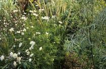 Cosmos bipinnatus 'Purity', Gaura lindheimeri, Pennisetum macrourum