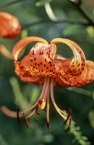 Lilium lancifolium var. splendens