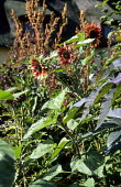 Helianthus annuus 'Ruby Eclipse' in border with Ricinus communis 'Carmencita'