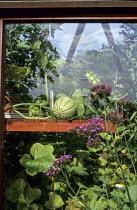 Melon inside greenhouse, Verbena bonariensis