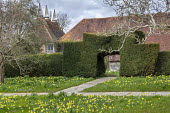 Yorkstone path through topiarised yew hedge archway, Narcissus pseudonarcissus and crocus naturalised in lawn