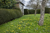 Narcissus pseudonarcissus and crocus naturalised in lawn, yew hedge