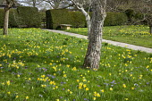 Narcissus pseudonarcissus and crocus naturalised in lawn, yew hedge, Yorkstone path leading to gate