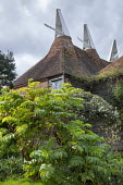 Melianthus major in front of oast houses