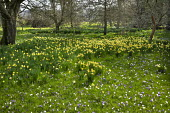 Orchard underplanted with crocus and Narcissus pseudonarcissus naturalised in long grass