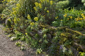 Euphorbia characias subsp wulfenii, Primula vulgaris and aubrieta in cracks in stone wall, Narcissus 'Jetfire'