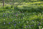 Fritillaria meleagris and crocus naturalised in long grass meadow, dappled shade