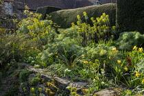 Euphorbia characias subsp wulfenii, Narcissus 'Jetfire', Ferula communis