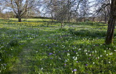 Fritillaria meleagris, daffodils and crocus naturalised in long grass meadow, mown grass path, dappled shade