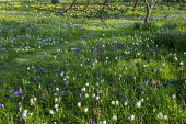Fritillaria meleagris and crocus naturalised in long grass meadow, mown grass path, dappled shade