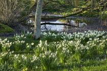 Narcissus naturalised in grass around bog garden