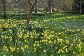 View across orchard underplanted with crocus and Narcissus pseudonarcissus in long grass