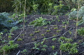 Bamboo canes marking out areas in border with perennial planting, garden design and planning, mulch