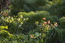 Helleborus x hybridus, Primula vulgaris, Ferula communis