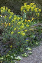 Euphorbia characias subsp wulfenii, Primula vulgaris and aubrieta in cracks in stone wall, Narcissus 'Jetfire'