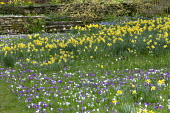 Orchard underplanted with carpet of crocus and Narcissus pseudonarcissus naturalised in long grass