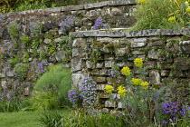 Euphorbia characias subsp wulfenii, aubrieta in cracks in dry-stone stone wall, Ferula communis