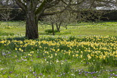 Carpet of crocus and Narcissus pseudonarcissus naturalised in long grass under tree