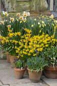Display of narcissus, muscari, tulips and hyacinths in terracotta pots on patio, Narcissus cyclamineus 'Tete-a-tete', Narcissus 'Jetfire', Hyacinthus orientalis 'Delft Blue'