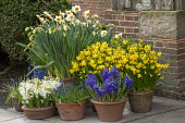 Narcissus cyclamineus 'Tete-a-tete', Hyacinthus orientalis 'Blue Delft', muscari in terracotta pots on patio by front door