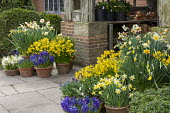 Narcissus cyclamineus 'Tete-a-tete', Hyacinthus orientalis 'Blue Delft' and 'White Pearl', Narcissus 'Barrett Browning' and Muscari latifolium in terracotta pots on patio by front door