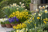 Narcissus cyclamineus 'Tete-a-tete', Hyacinthus orientalis 'Blue Delft' and 'White Pearl', Narcissus 'Barrett Browning', Muscari latifolium in terracotta pots on patio by front door