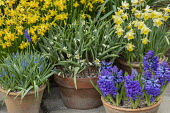 Tulipa turkestanica, Narcissus cyclamineus 'Tete-a-tete', Hyacinthus orientalis 'Blue Delft' and Muscari latifolium in terracotta pots on patio