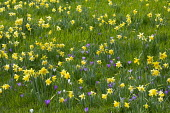 Narcissus pseudonarcissus and crocus naturalised in lawn