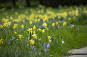 Narcissus pseudonarcissus naturalised in lawn