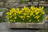 Narcissus cyclamineus 'Tete-a-tete' in stone trough