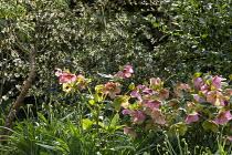 Helleborus x hybridus, Osmanthus delavayi