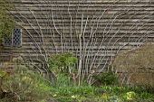 Ficus carica fan-trained against wooden barn wall