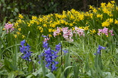 Hyacinthus orientalis and Narcissus cyclamineus 'Tete-a-tete' naturalised in long grass