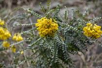 Sophora microphylla 'Sun King', syn. 'Hilsop'