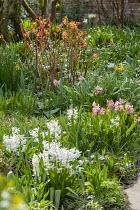 Spiraea japonica 'Goldflame', Hyacinthus orientalis 'White Pearl'