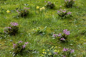 Erythronium dens-canis and Narcissus pseudonarcissus naturalised in lawn
