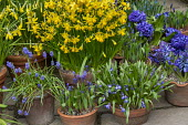 Narcissus cyclamineus 'Tete-a-tete', Hyacinthus orientalis 'Blue Delft', scilla and muscari in terracotta pots on patio