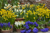 Narcissus cyclamineus 'Tete-a-tete', Hyacinthus orientalis 'Blue Delft' and 'White Pearl', Narcissus 'Barrett Browning', Tulipa 'Concerto', Muscari latifolium in terracotta pots displayed on patio by...
