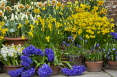 Narcissus cyclamineus 'Tete-a-tete', Hyacinthus orientalis 'Blue Delft' and 'White Pearl', Narcissus 'Barrett Browning', Tulipa 'Concerto', Muscari latifolium in terracotta pots displayed on patio