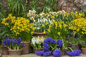 Narcissus cyclamineus 'Tete-a-tete', Narcissus 'Barrett Browning', Hyacinthus orientalis 'Blue Delft' and 'White Pearl', Tulipa 'Concerto', Muscari latifolium in terracotta pots displayed on patio