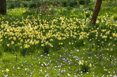 Carpet of crocus and Narcissus pseudonarcissus naturalised in long grass