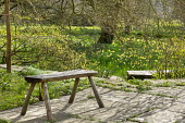 Rustic wooden bench on stone patio, drift of Narcissus pseudonarcissus naturalised in lawn