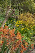 Spiraea japonica 'Goldflame', Narcissus cyclamineus 'Tete-a-tete'