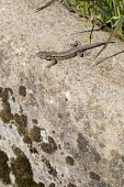 Common wall lizard, Podarcis muralis, on stone wall