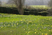 Carpet of crocus and Narcissus pseudonarcissus naturalised in long grass, clipped yew hedge