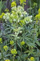 Helleborus foetidus, Euphorbia amygdaloides var. robbiae