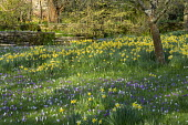 Carpet of crocus and Narcissus pseudonarcissus naturalised in long grass, dappled shade
